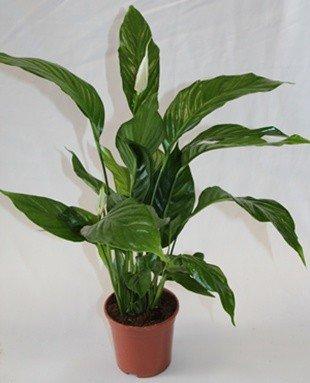 Spathiphyllum o espatifilio (Maceta 13 cm Ø) - Planta viva de interior