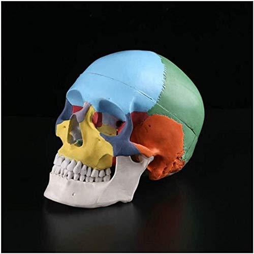 JN Modèle d'organes Humains Couleur Crâne, Simulation du Corps Humain Couleur Crâne Crâne Standard d'enseignement médical Modèle modèle d'organe médical
