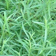 Pinkdose Französisch Estragon Aromatische Kräuter Kräutersamen für Küche Garten Küche Garten Pflanzensamen 20Indoor, Outdoor-Küche Garten Pflanzensamen Seed