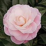 Camellia japonica Nuccio's Cameo | Camélia rose | Arbuste d'ornement | Hauteur 35-40cm | Pot Ø 15cm