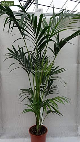 Kentia Palme Howea Forsteriana wunderschöne Zimmerpflanze sehr pflegeleicht 160-180cm Pot Ø 24 cm