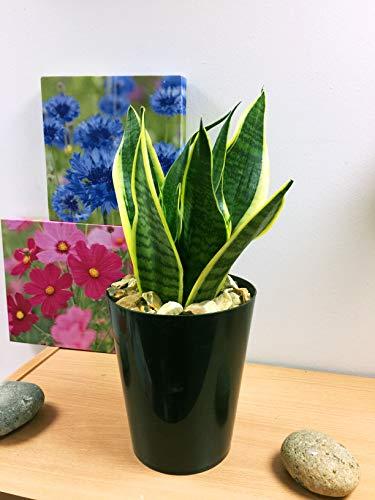 Easy Plants Evergreen Tischpflanze, in Keramik-Topf, Schwarz, Snake Plant