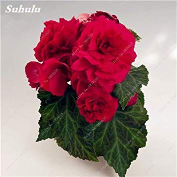 Nouveau! 150 Pcs Begonia Graines Bonsai Graines de fleurs Bonsai Maison & Jardin Flor Plantes en pot Purifier l'Office Air Bureau Fleurs 1