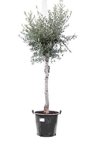 Olea europaea - echter Olivenbaum Wild Form -Größe 200+cm - Stamm 70+cm - Topf 50 Ltr. - Stammumfang 18-22 cm