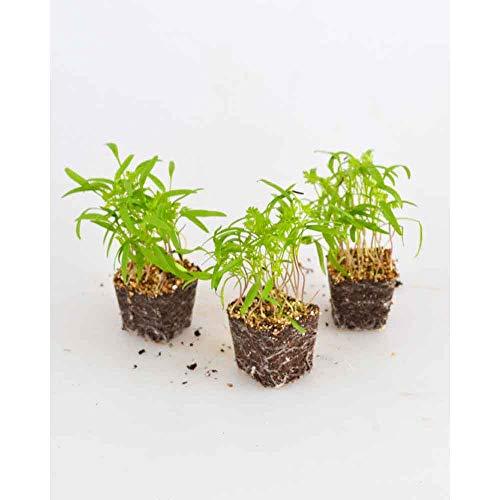 Kräuterpflanzen - Kerbel/Massa - Anthriscus cerefolium - 3 Pflanzen im Wurzelballen