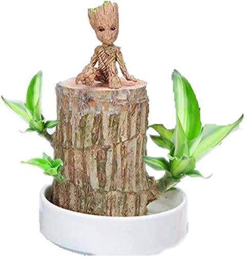NANDAN Brasilien Glück aus Holz, grüne Pflanze Dekoration, hydroponischen Stump Indoor Tischdekoration, reinigen die Luft (Durchmesser: 2.5-3.1In)
