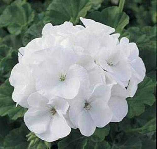 10 graines de zonal geranium Maverick White Series