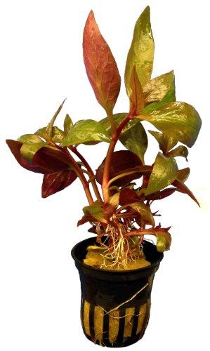 1 Topf Alternanthera lilacina, Breitblättriges Papageienblatt, Aquarium-Pflanzen