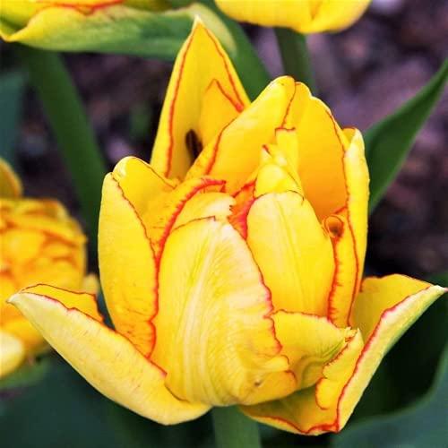 CHTING 10 bombillas de tulipán para jardineros, cuidado fácil, no necesita mucho cuidado, variedad especial exótica, atractivo patio privado