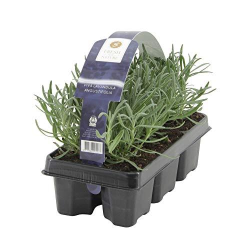 6ST Lavandula Angustifolia | Lavendel Pflanze | Winterharte Stauden | Lieferhöhe 15-20cm | Topf-Ø 7cm