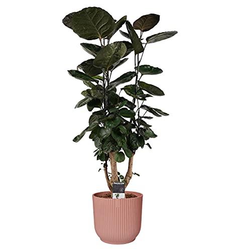 Zimmerpflanze – Fiederaralie in...