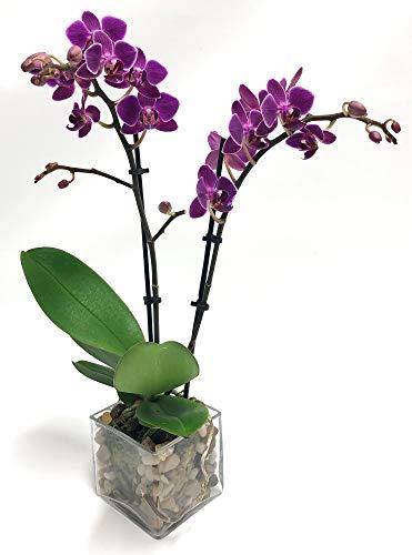 Athena's Garden PA-OPP3P Indoor Garden Phalaenopsis Plant, 3