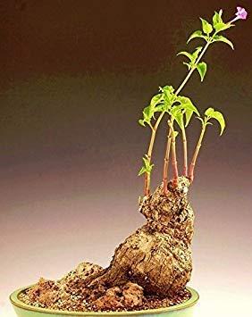 Fash Lady Caudex MIRABILIS JALAPA exotische duftende Bonsai seltene Pflanze Blumensamen - 25 Samen