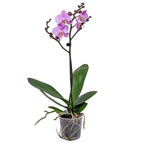 Orchidee | Phalaenopsis Pink je - Zimmerpflanze im Aufzuchttopf cm9 cm - 40 cm