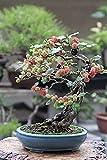Bonsai Mulberry Tree Seeds - 25 Seeds - Morus Nigra - Grow Fruitbearing Bonsai
