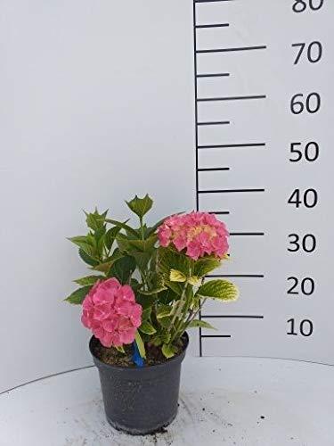 Späth Bauernhortensie 'Alpenglühen' LH 20-30 cm im 3 Liter Topf Hortensie winterhart Zierstrauch große Blüte 1 Pflanze
