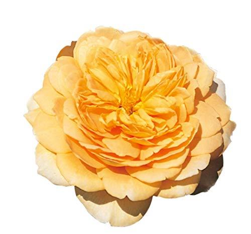 Golden Celebration®, rosa in vaso di Rose Barni® delle Rose Inglesi, pianta rampicante allevata a spirale su piramide bassa, rifiorente fiori a coppa giallo intenso, molto profumati. Cod. 79824