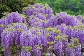 Bloom Green Co. Vente chaude Rare Violet Wisteria Graines de fleurs pour la maison et bricolage amp; plante de jardin Wisteria sinensis (SIMS) semences Sweet 10PCS: 2