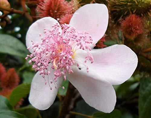 vegherb Annattostrauch | Achiote | Lippenstift-Baum | Urucum | Colorau | 20_Seeds