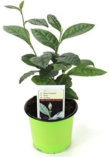 Echte Teepflanze, frischer Tee