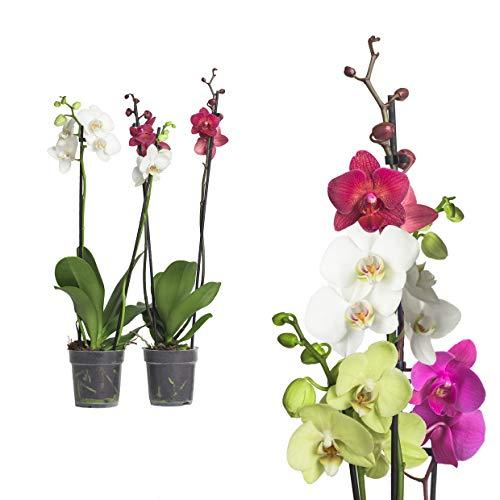 echte Phalaenopsis Orchideen mit Übertopf 2 Triebe - 50 bis 70cm groß - Schmetterlingsorchidee wunderschöne blühende Tischpflanzen Blumen Geschenkset Naturprodukt (2, Phalaenopsis)