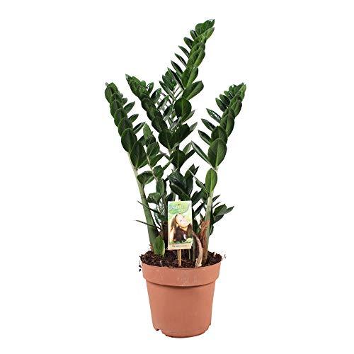 Zamioculcas zamiifolia | Glücksfeder Pflanze | Zimmerpflanzen groß | Höhe 80-90 cm | Topf-Ø 21 cm