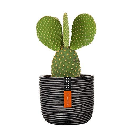 Opuntia microdasys in un vaso decorativo CAPI | Fico d'India | Pianta di cactus da interno | Cactus robusto | Altezza 20-28cm | Vaso Capi Nature Black Ø 14cm