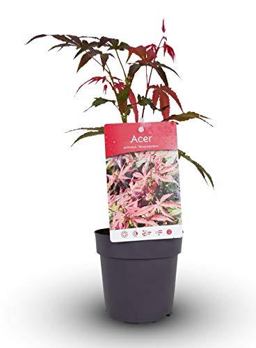 Acer Palmatum Atropurpureum in a 11cm Pot Ready to Plant - Japanese Maple for Autumn Colour