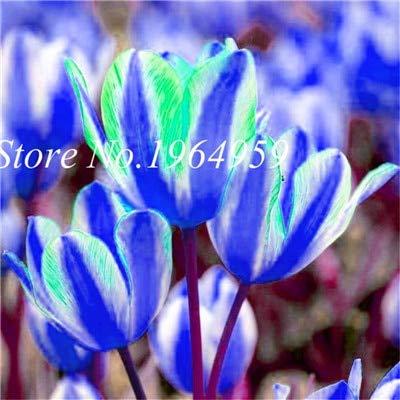 RETS Bonsai 100 PC/Beutel-hochwertiger Bonsai Mixed Tulip Regenbogen-Tulpe Bonsai Blumentopfpflanzen leuchten Ihr Personal Garten: 11
