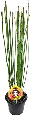 Fangblatt - Equisetum japonica - japanischer Schachtelhalm - exotische Teichpflanze ca. 40 cm hoch
