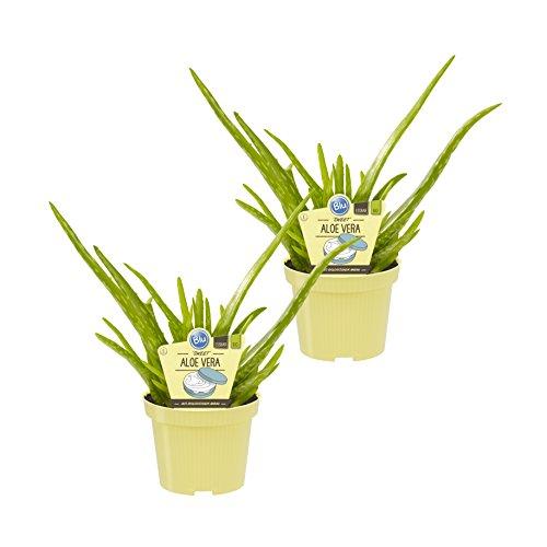 Dominik Blumen und Pflanzen, Bio-Aloe vera 'Sweet', Aloe vera barbadensis Miller, Bio-Qualität von Blu , 2 Pflanzen,  15 - 20 cm hoch, 10 - 12 cm Topf, Zimmerpflanzen