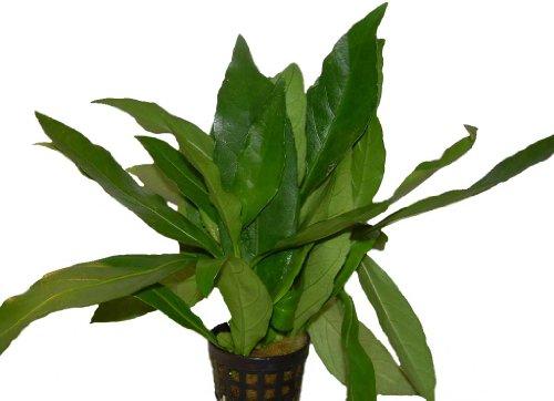 Wasserpflanze Justicia gendarossa-Grünes Cichlidenkraut, Aquarienpflanzen