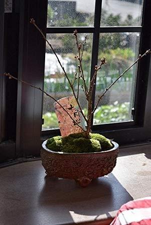 十月桜 ミニ盆栽 二期咲きさくら