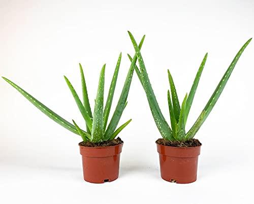 2x Aloe Vera Pflanze | Zwei Echte Aloe | Sukkulenten Heilpflanze | Deko Pflanzen | Zimmerpflanze | Lieferhöhe 40-45 cm | Topf -Ø 12 cm
