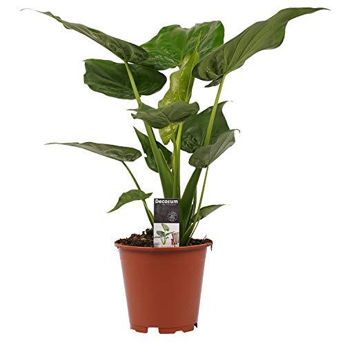 Zimmerpflanze – Elefantenohr – Höhe: 65 cm