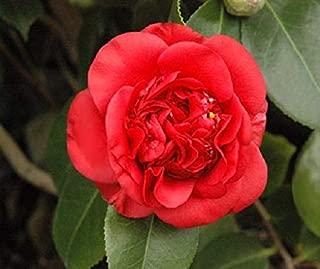 HIGH Germination Seeds:Quart Pot : April Tryst Red Camellia (Zone 6) - Live Seed - Quart Pot