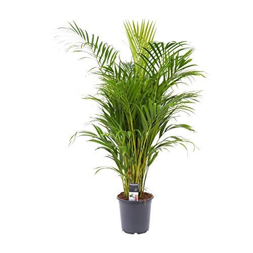 Dypsis lutescens  Palma di Areca   Tropicale e purificante  Altezza 65-75 cm  Vaso Ø 17cm