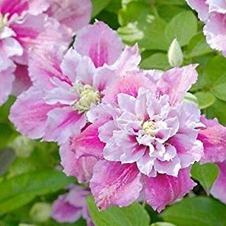 Byngreenstore | 25 Double Pink White Clematis Flowers Perennial Flower Ship from US