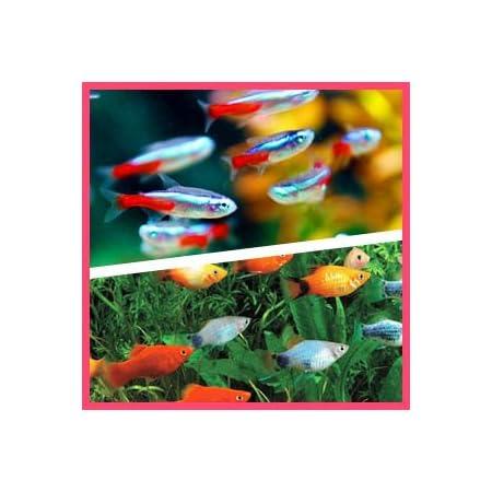 【バリューセット】ネオンテトラ(SM)(約1.5-2cm)(10匹)+ ミックスプラティ(約3-4cm)(5匹)[生体]