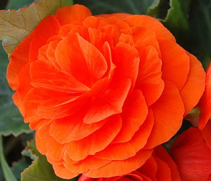 Non Stop Orange Begonia, Fresh Blooming Sized Bulbs, Nice addition to your Garden, Unique Color