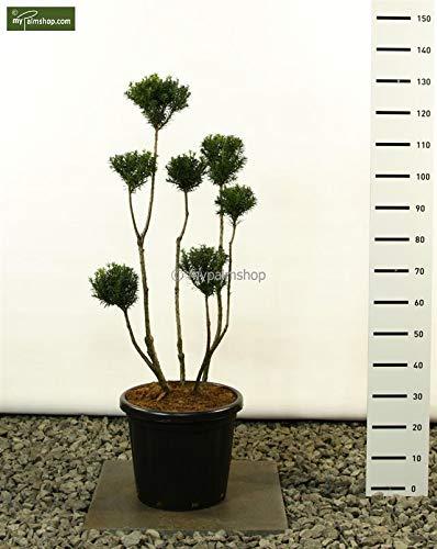 Tuinbonsai-taxus-Pon Pon-vorm - Taxus media 'Hicksii' POM POM - 100-125cm pot Ø 34 cm - 20 liter. Multibol
