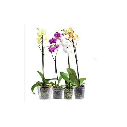 Orquídea Phalaenopsis - Planta Natural - Envíos sólo a Península
