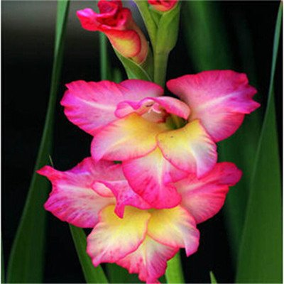 Großer Verkauf Verschiedene Stauden Gladiolen Blumensamen, 1 Profi-Pack 500 Samen / Pack, Rare Schwertlilie Seeds