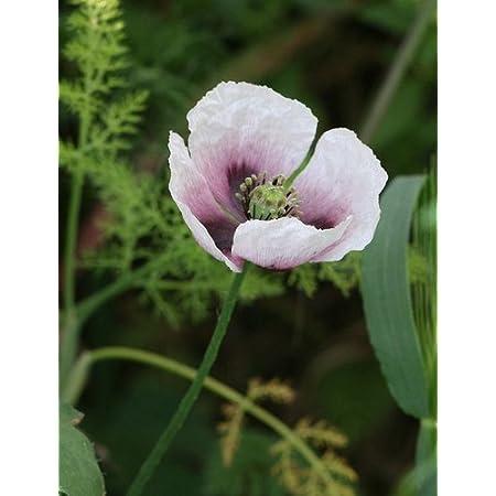 Somniferum Poppy Papaver somniferum Blue Poppy