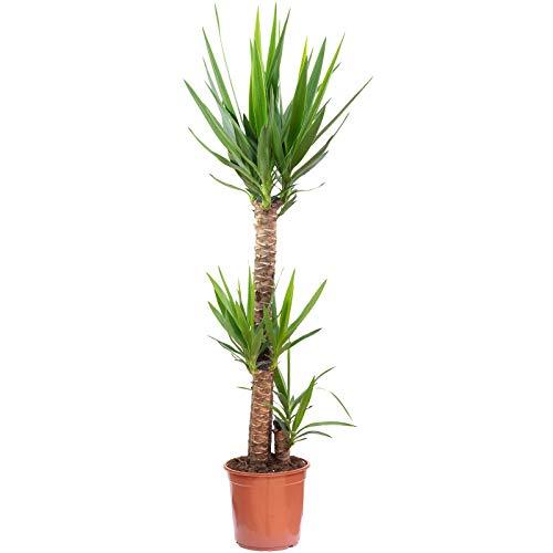 Palmlilie 3-stämmig - Yucca Elephantipes Palme 90/45/20 - Höhe ca. 135 cm, Topf-Ø 24 cm