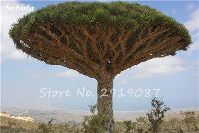 Livraison gratuite 10 Pcs rares Dracaena arbre alpiste Tree Island Sang (Dracaena draco) voyantes, Jardin des plantes exotiques 6 Diy