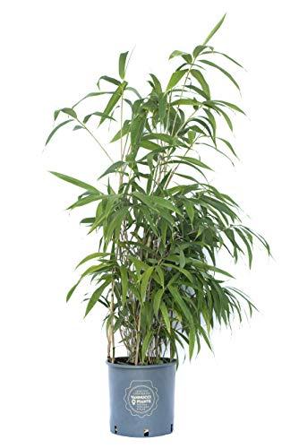 Bambusa metake in vaso Vannucci Piante, Pianta vera fino a 4-5m di altezza