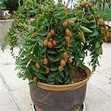 AGROBITS 5 pcs/lot Taiwan Big Jujube Outdoor Sweet Fruit Succulent Plant Tree Bonsai Pot Plant SeedsDIY Home Garden Easy to Grow : 6