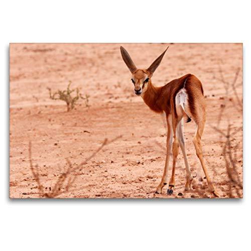 CALVENDO Premium Textil-Leinwand 120 x 80 cm Quer-Format Junges Impala in der Etosha Pfanne, Afrika, Leinwanddruck von Birgit Scharnhorst