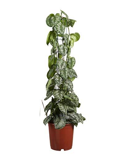Plante d'intérieur de Botanicly – Lierre du diable – Hauteur: 120 cm – Scindapsus Trebie